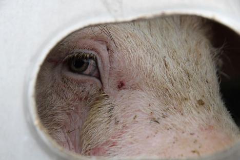 Metafora gourounion - credits Toronto Pig Save