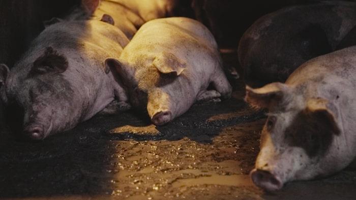 i-pseudaisthisi-tis-autodiathesis-den-tha-mou-upagoreusei-kaneis-ti-tha-fao-credits-Igualdad Animal-Animal Equality-2